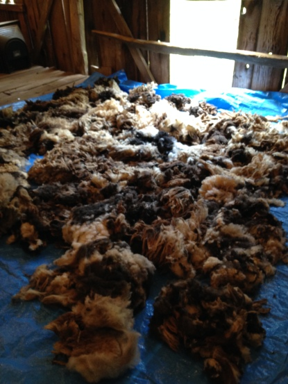 The wool laid out to dry!