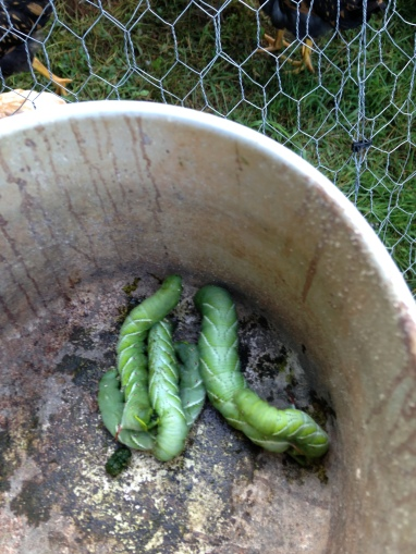 Tomato Hornworms!